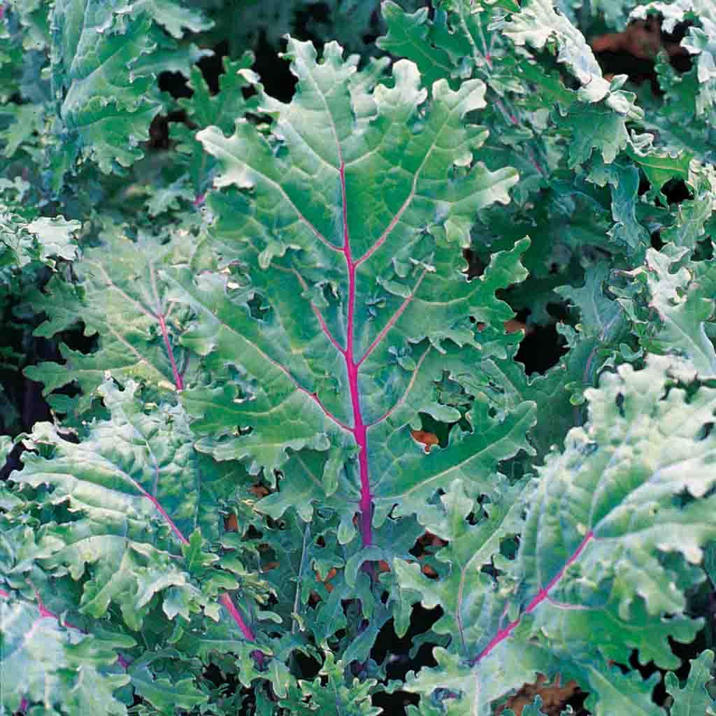 Kale Red Russian Seed