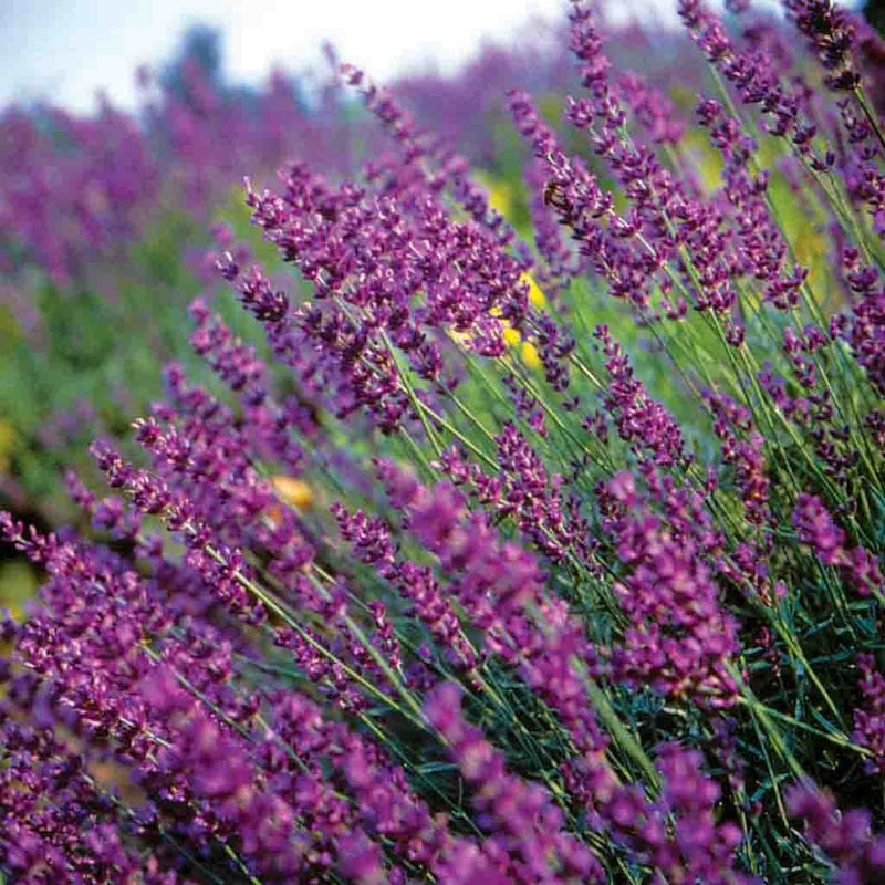 Lavender True (Sow Easy) Seed