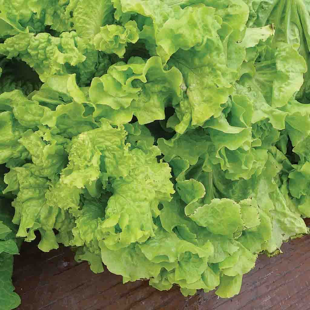 Lettuce Black Seeded Simpson (Sow Easy) Seed
