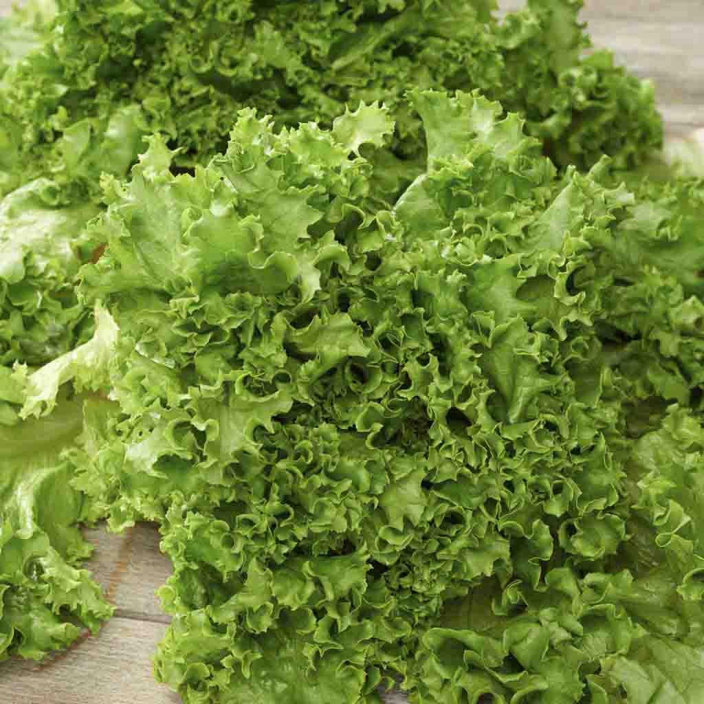 Lettuce Green Salad Bowl Seed