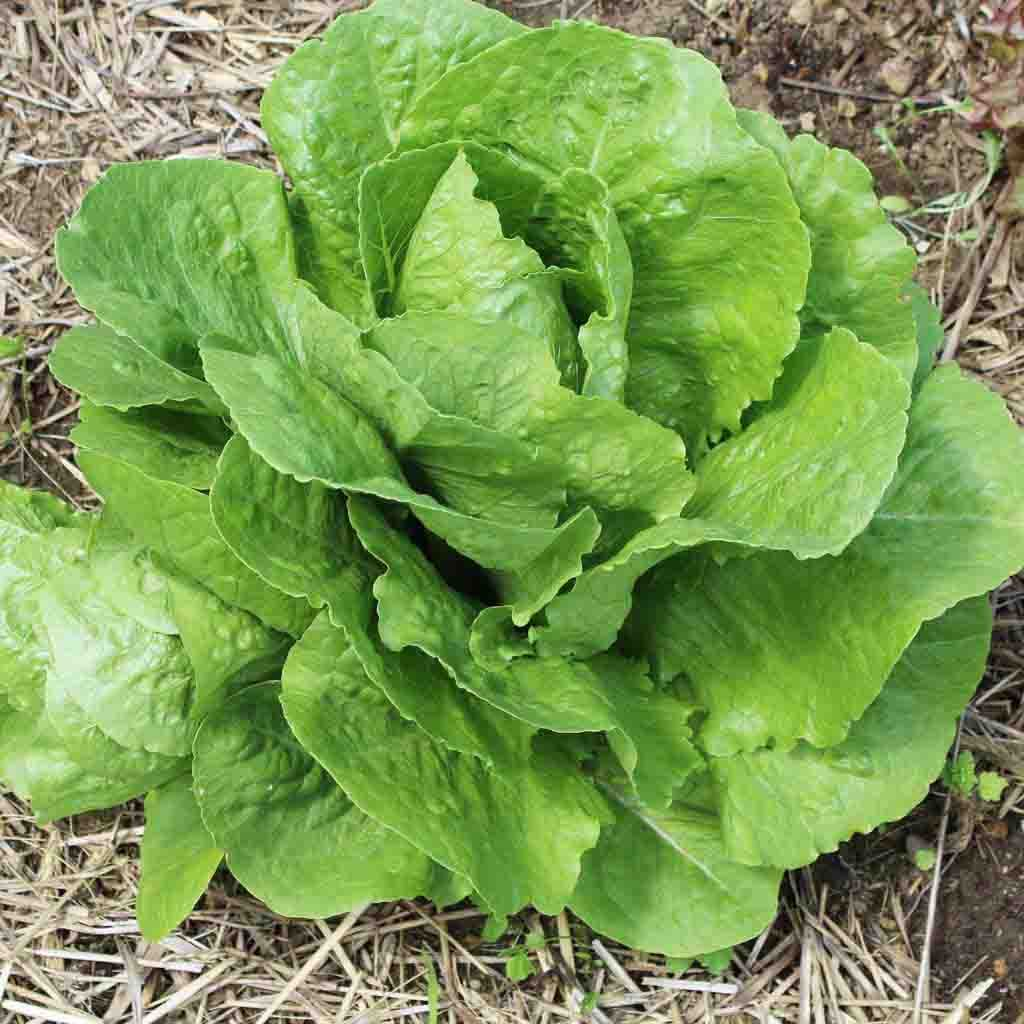 Lettuce Parris Island Cos Seed