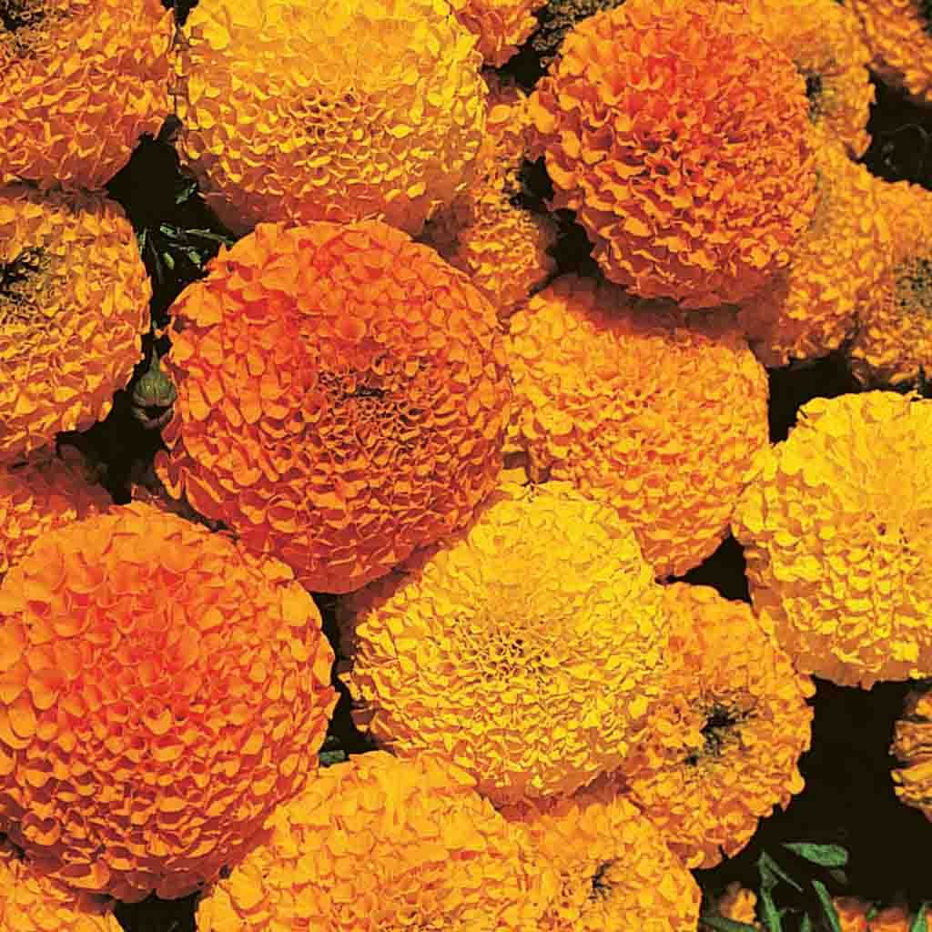 Marigold Crackerjack Mixed Colors Flower Seed