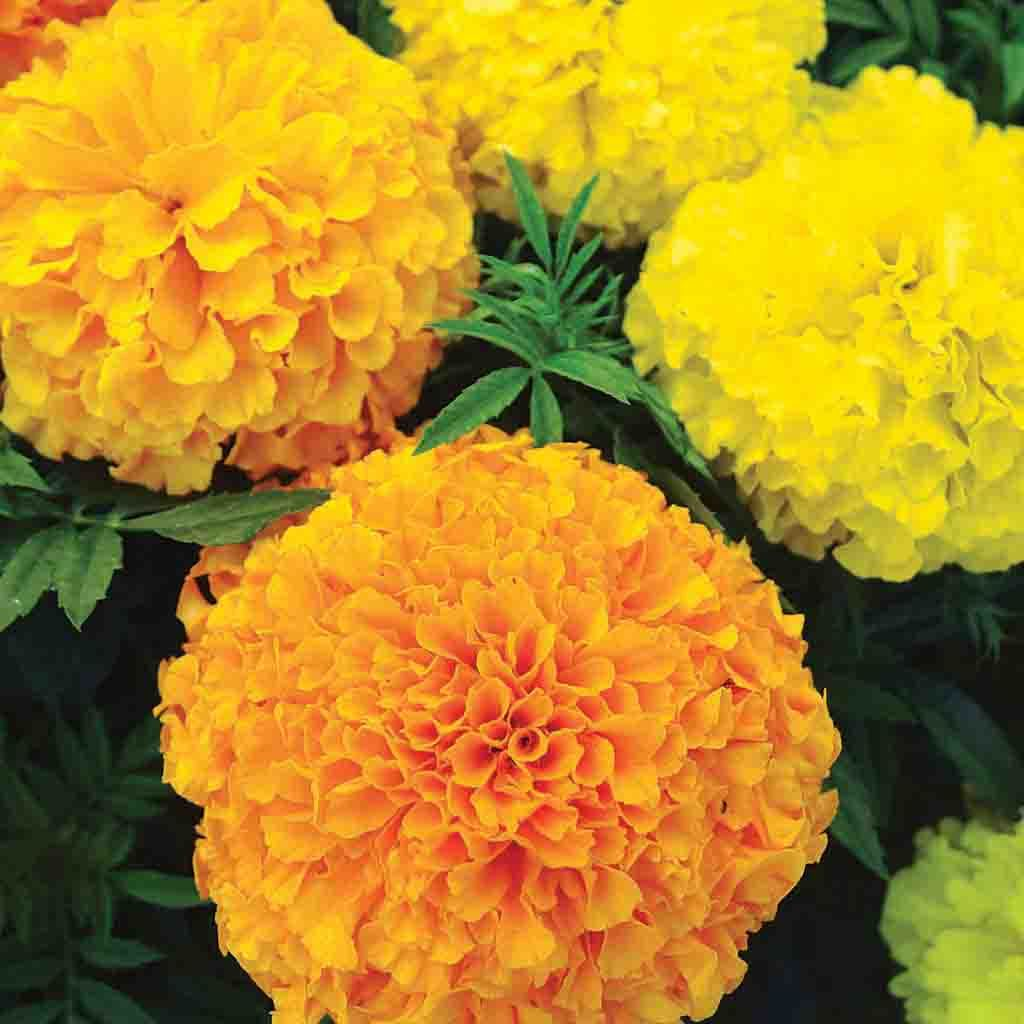 Marigold Ferry's Best Mix Flower Seed