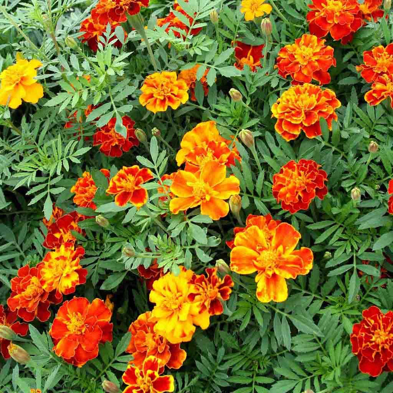 Marigold French Double Dwarf Seed