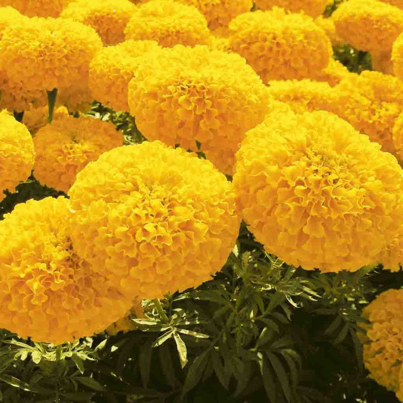 Marigold Garden Joy Gold