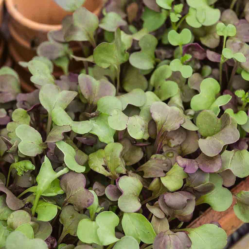 Micro Greens Mild Mix (Sow Easy) Seed
