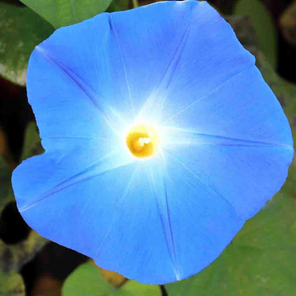 Morning Glory Heavenly Blue Seed