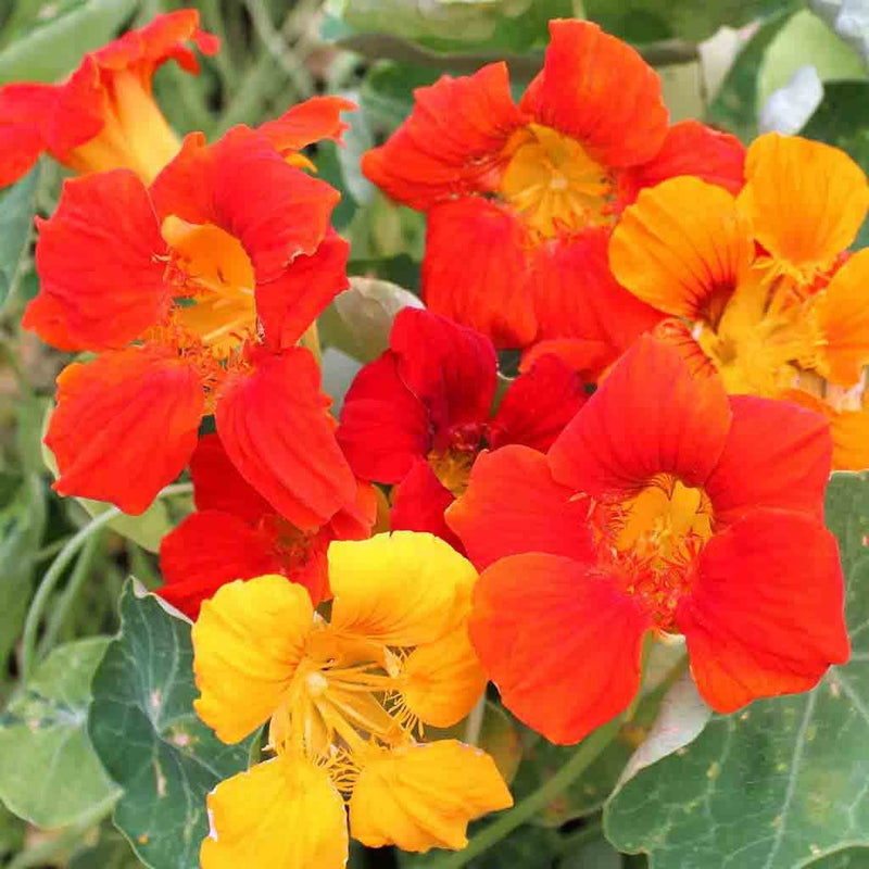 Nasturtium Alaska Mixed Colors Seed