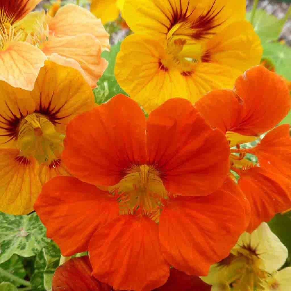 Nasturtium Tall Single Mixed Colors Seed