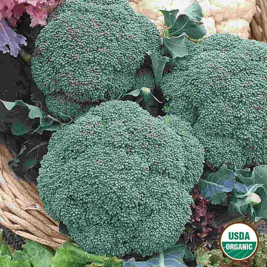 Organic Broccoli Green Sprouting Calabrese Seed