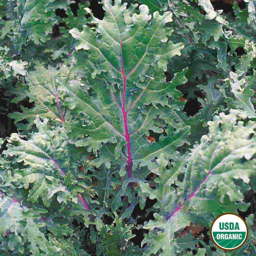 Organic Kale Red Russian Seed