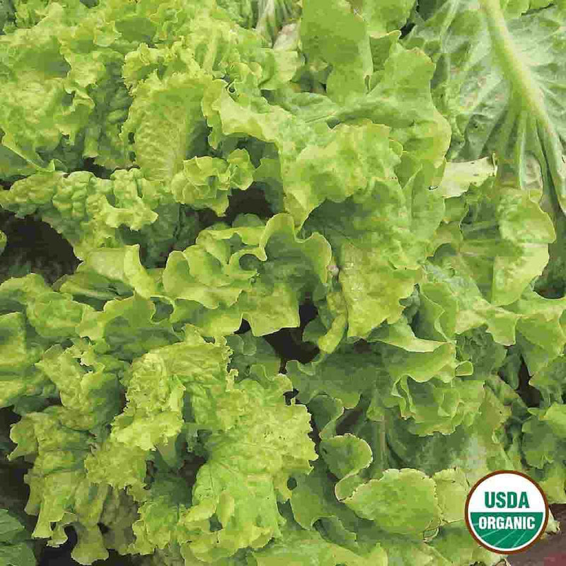 Organic Lettuce Black Seeded Simpson Seed
