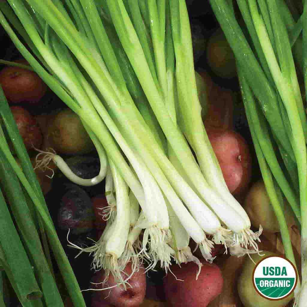 Organic Onion Evergreen Bunching