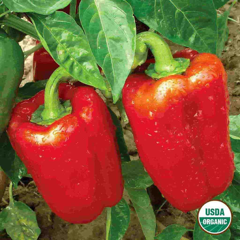 Organic Pepper California Wonder Seed
