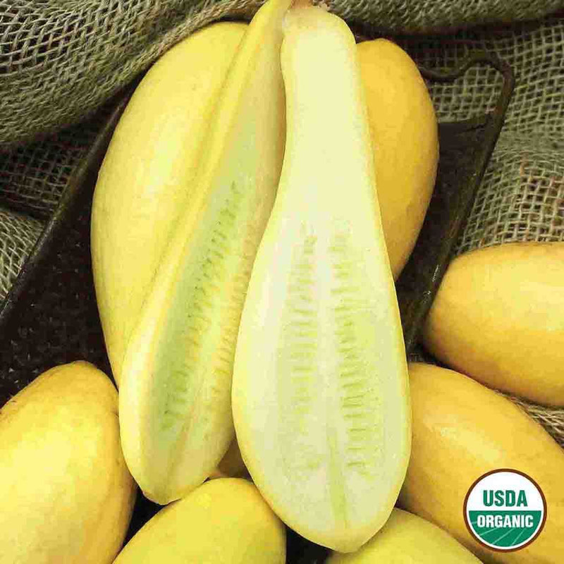 Organic Squash Early Prolific Straightneck Seed