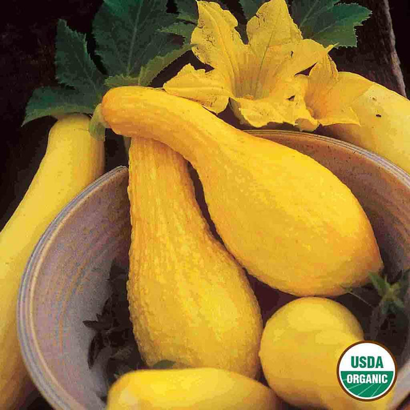 Organic Squash Yellow Summer Crookneck Seed