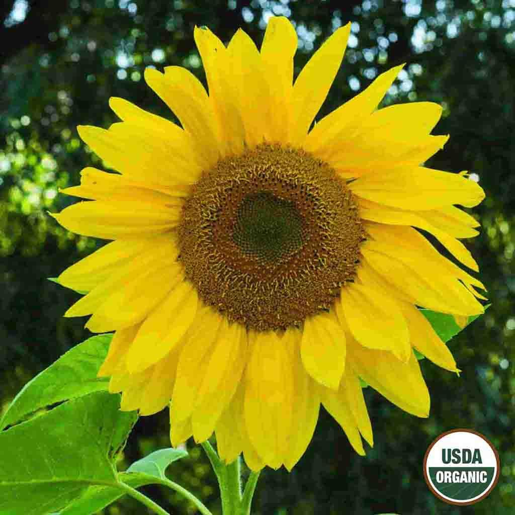 Organic Sunflower Mammoth Seed