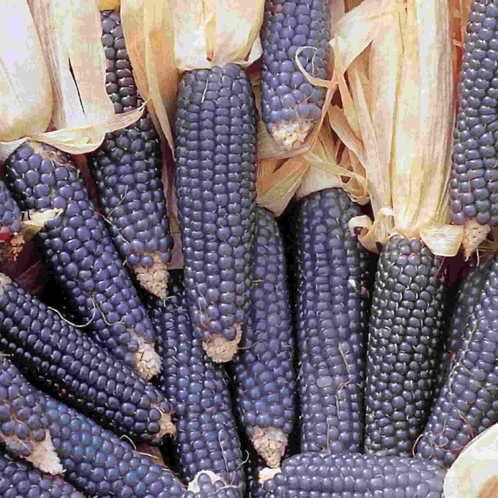 Ornamental Corn Hopi Blue