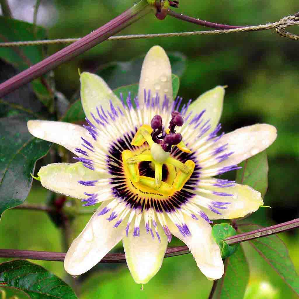 Passion Flower Seeds Ferry Morse Home Gardening