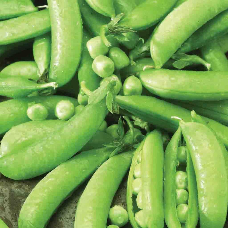 Pea Sugar Snap
