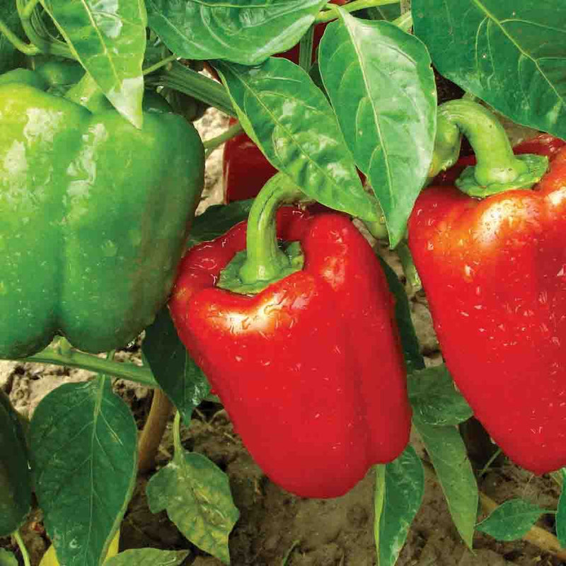 Pepper California Wonder (Sow Easy) Seed