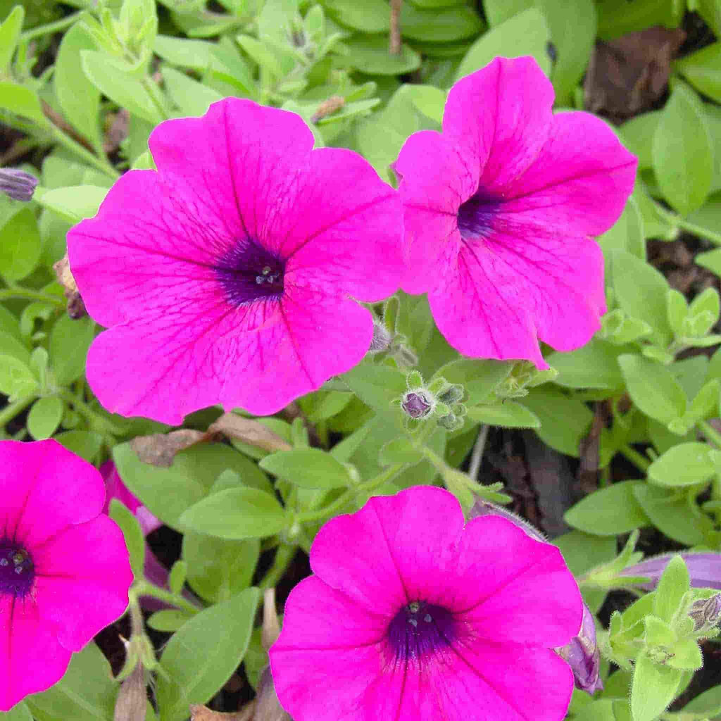 Petunia Dwarf Bedding Mixed Colors