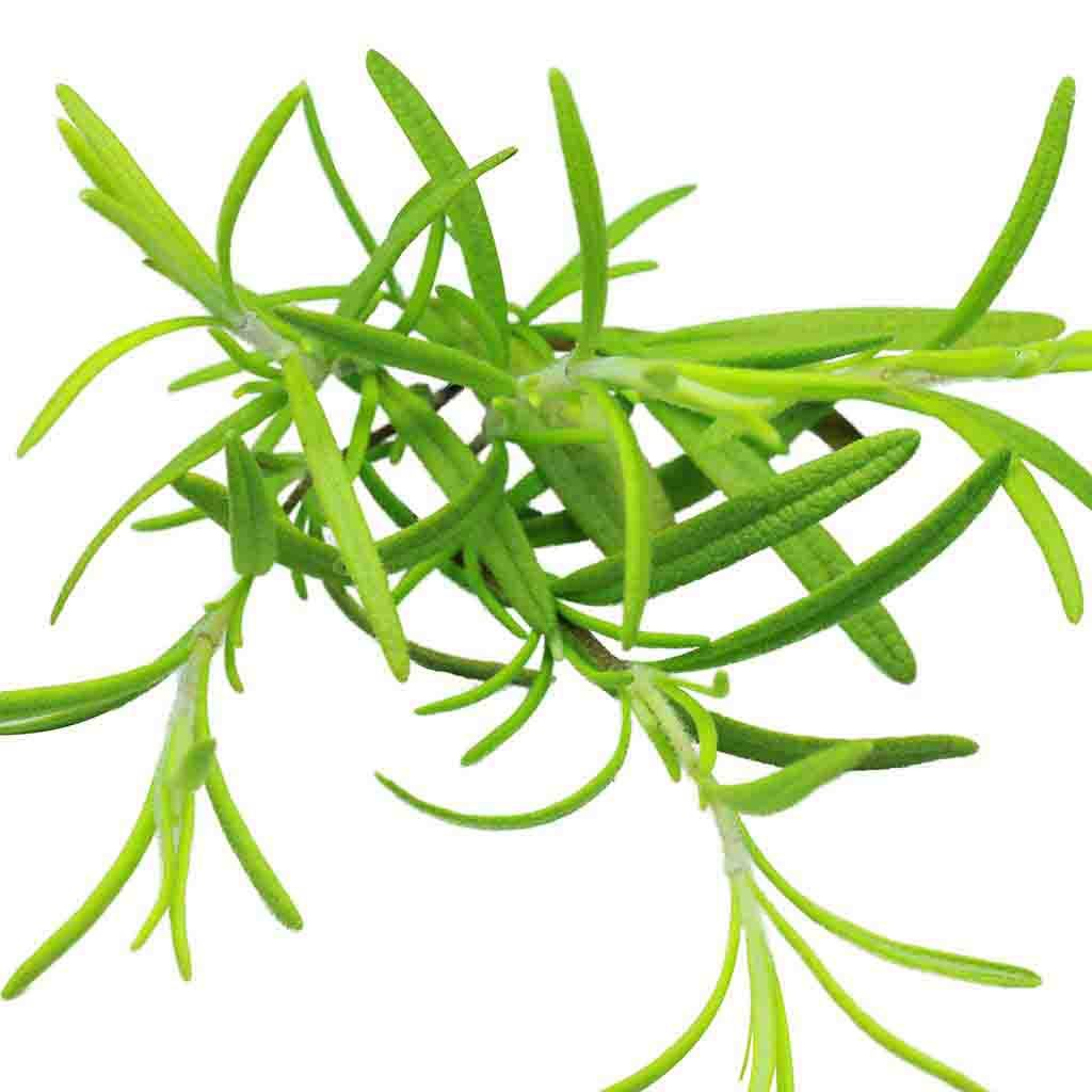 Rosemary (Sow Easy) Seed