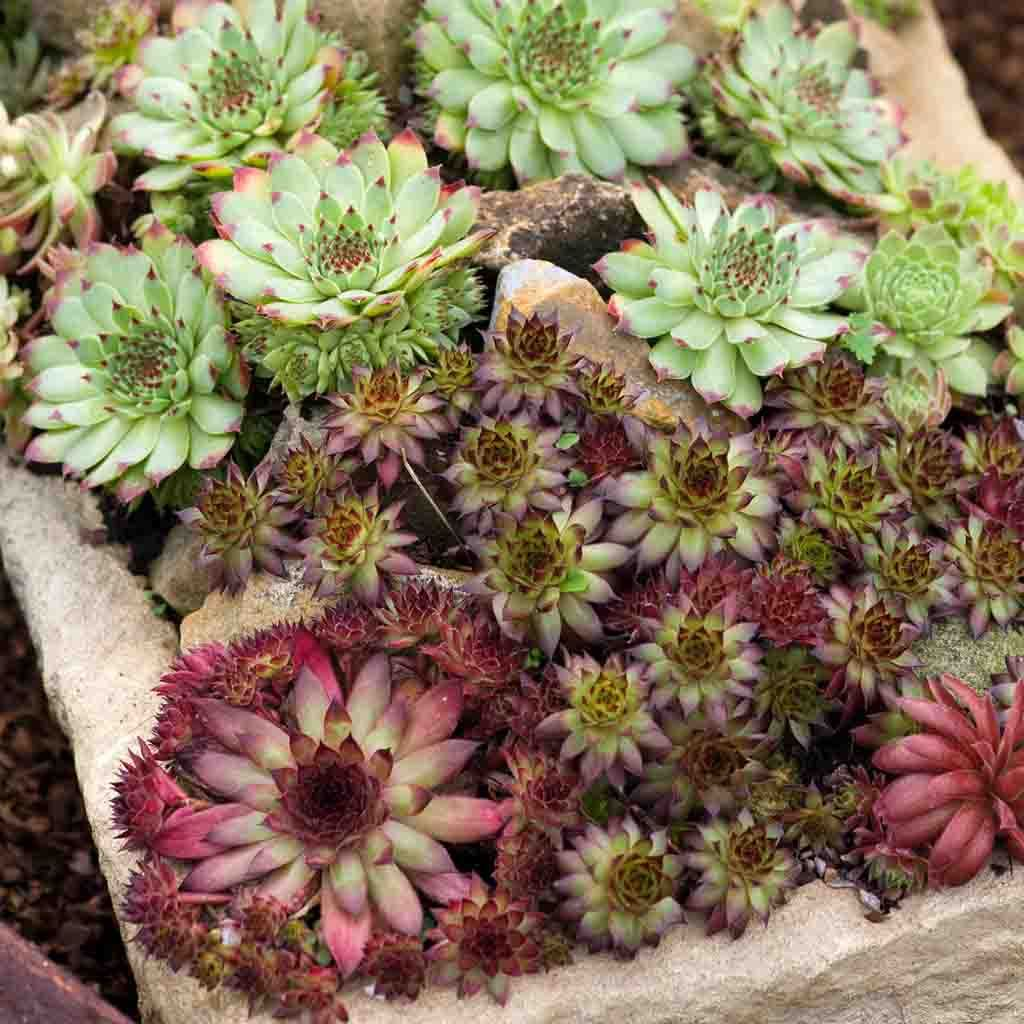 Mixed Sempervivum