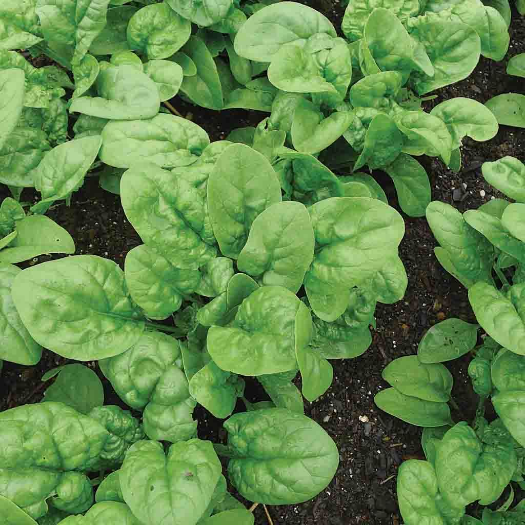 Spinach Bloomsdale Long Standing Seed