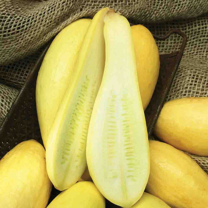 Squash Early Prolific Straightneck HEIRLOOM Seed