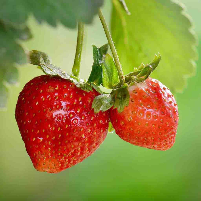 Strawberry Alpine Seed