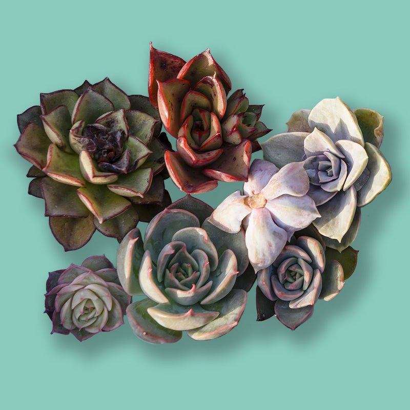 Ferry-Morse Succulents Gardening Kit