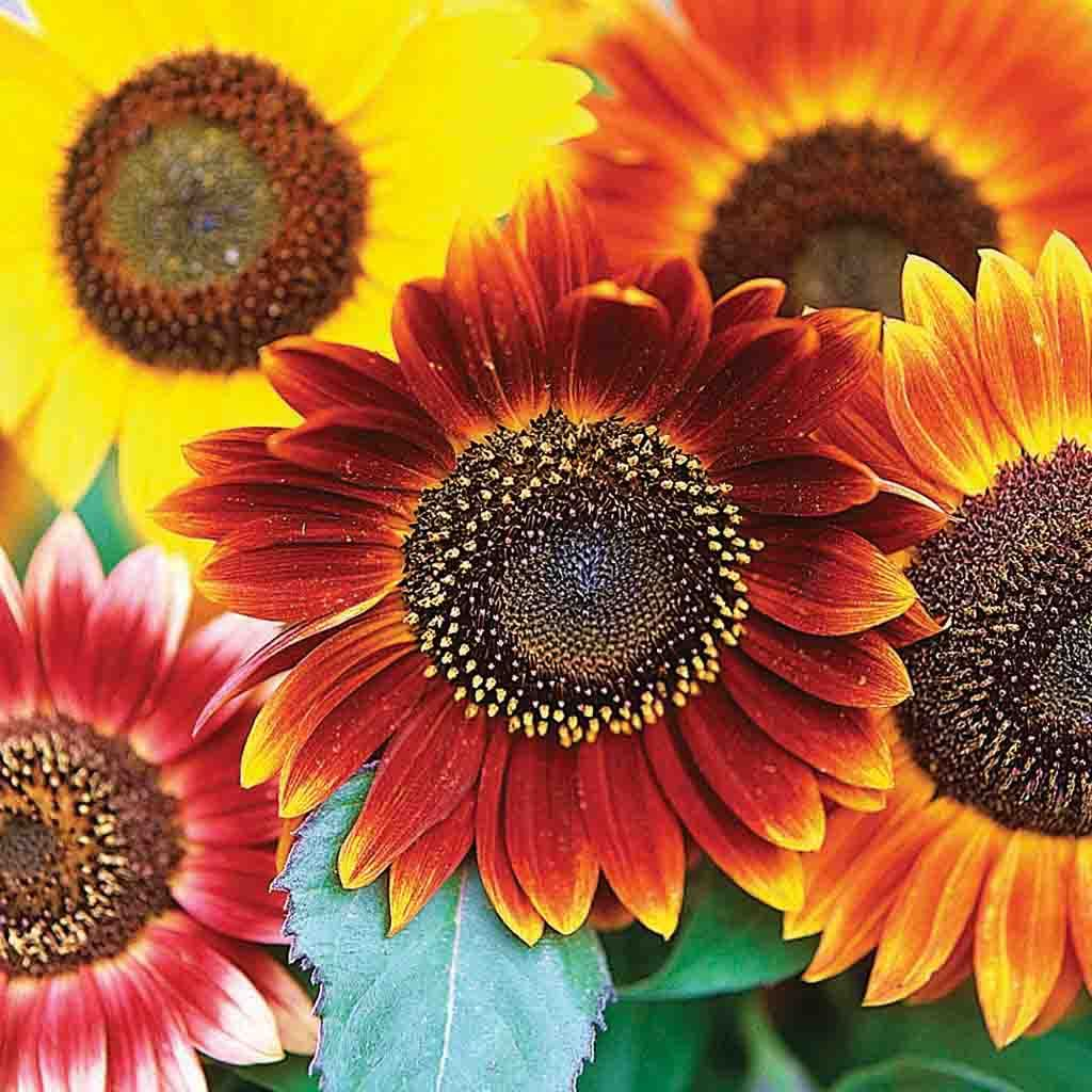 Sunflower Autumn Beauty Mixed Colors Seed