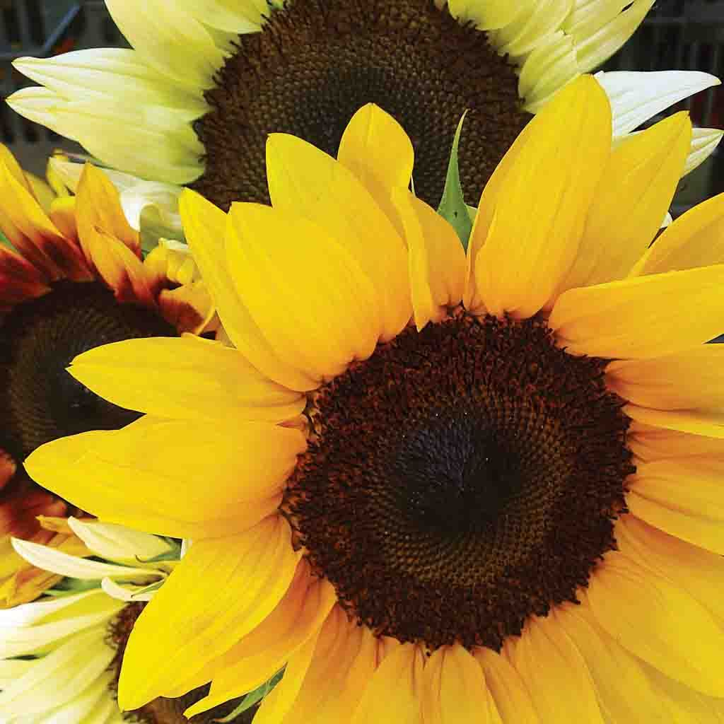 Sunflower Mixed Colors