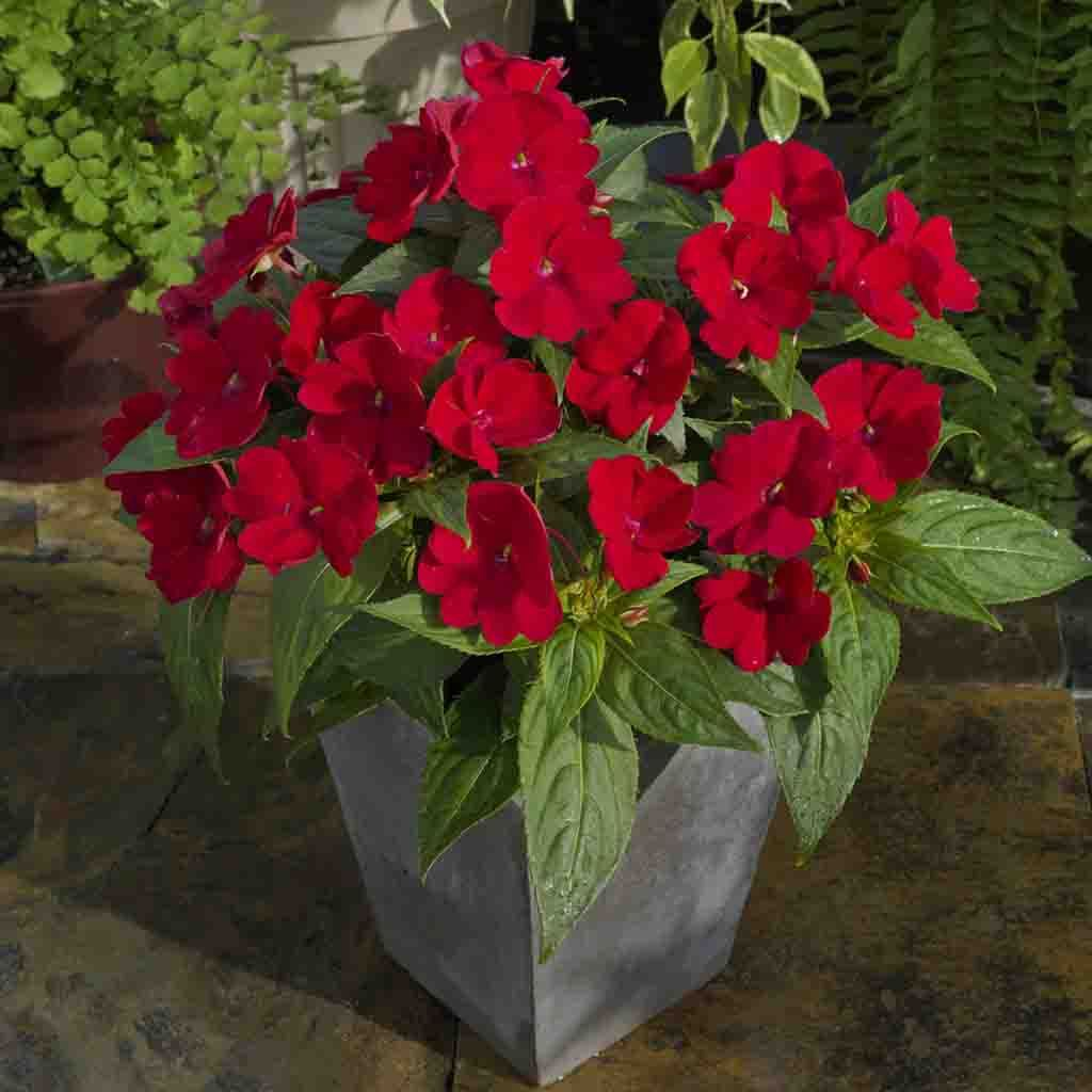 Sunpatiens Compact Fire Red