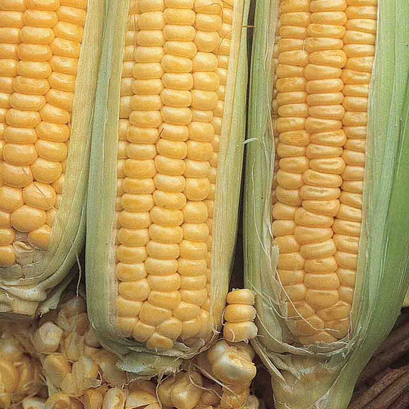 Sweet Corn Golden Cross Bantam Hybrid Economy Packet Seed