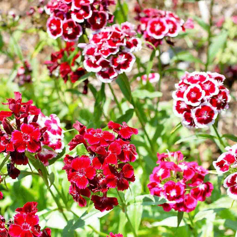 Sweet William Tall Double Mixed Colors Seed
