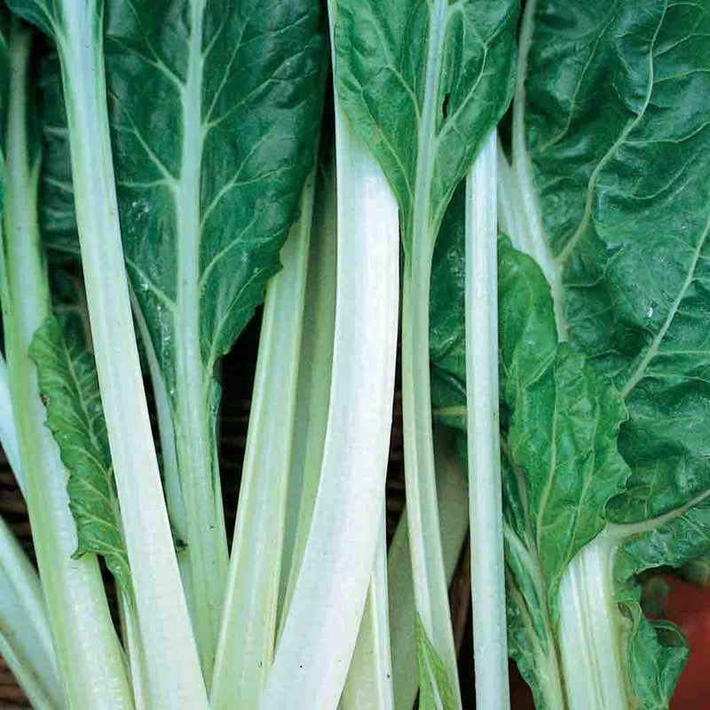 Swiss Chard Fordhook Giant Seed