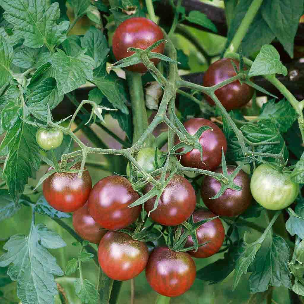Tomato Chocolate Cherry (Sow Easy) Seed