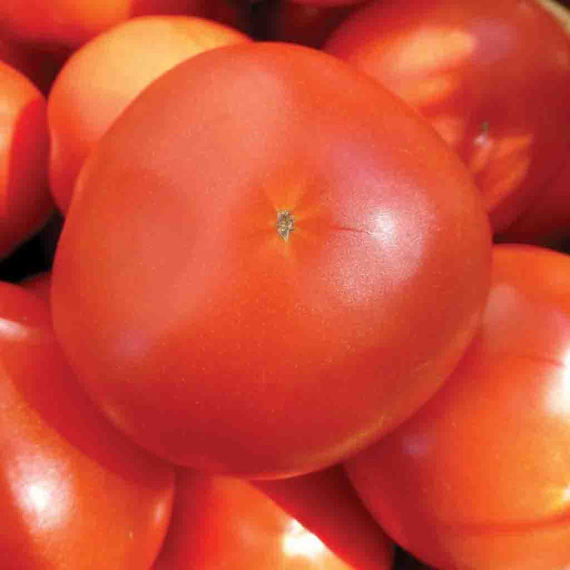 Tomato Mortgage Lifter HEIRLOOM Seed