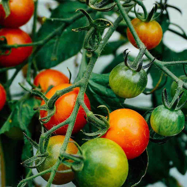 Tomato Seeds Vegetables//Fruit Red Cherry 350 Seeds