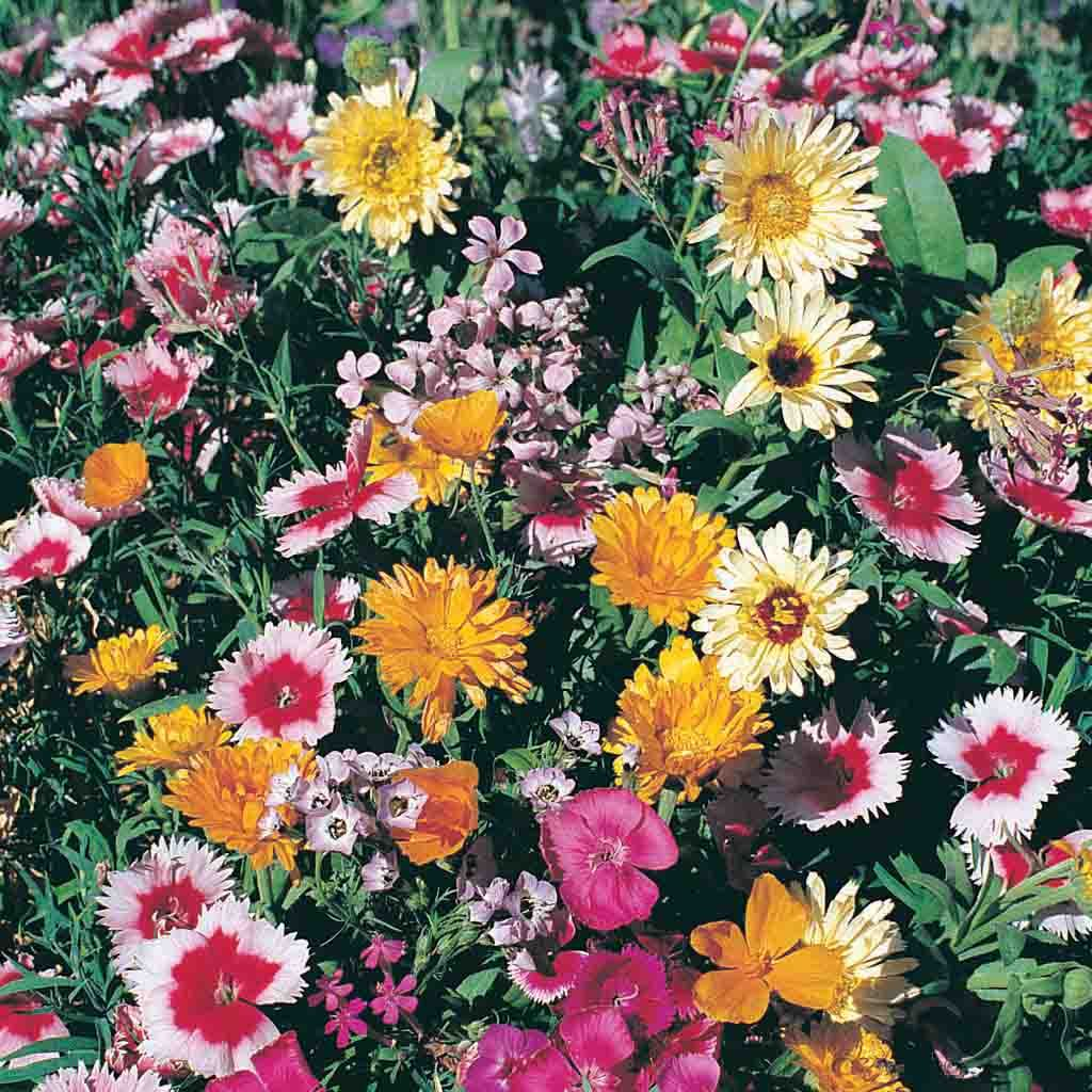 African Daisy Seed Profuse Multi Colour Blooms Annual Poor Sandy Soils Reseeds