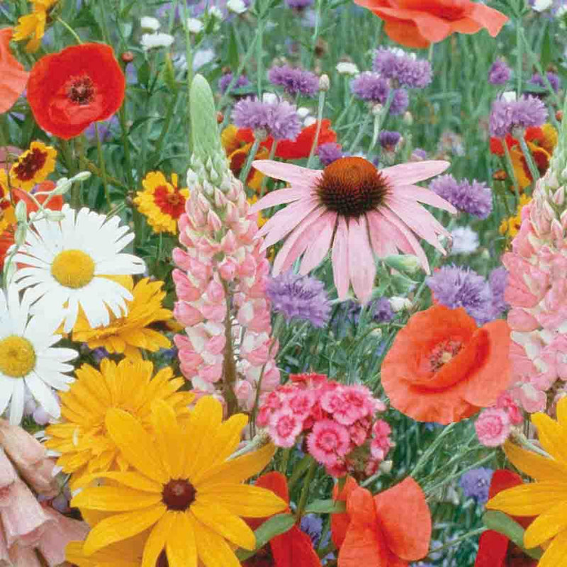 Wildflower Meadow Mix Economy Packet Seed