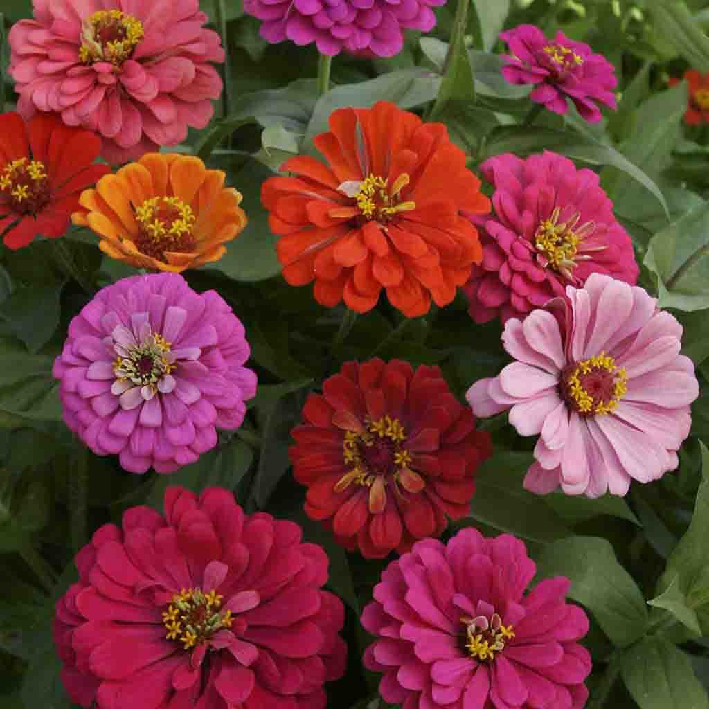 California Giants Zinnia Seeds Mixed Colors Ferry Morse Home Gardening