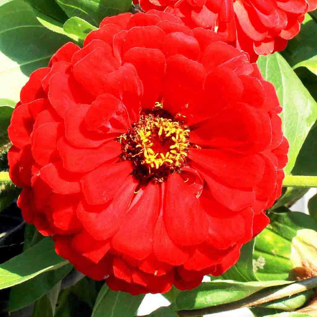 Zinnia Giant Double Scarlet Flame Seed