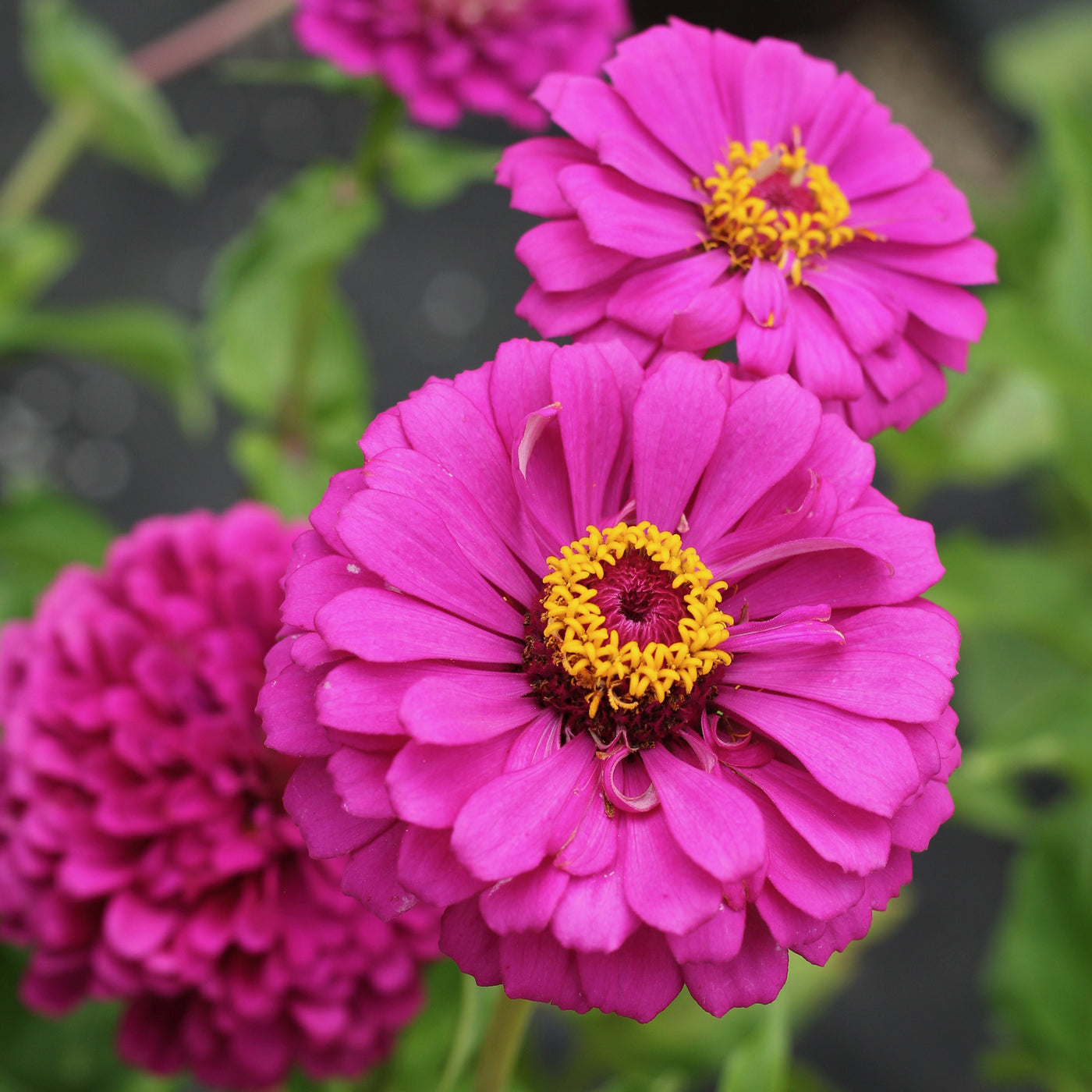 Giant Double Violet Queen Zinnia Seeds Ferry Morse Home Gardening