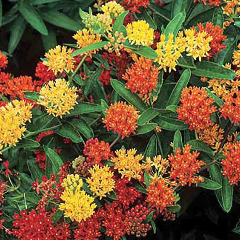 Asclepias Tuberosa Gay Butterfly Mix