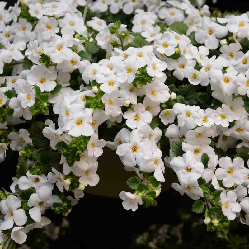 Bacopa Gulliver Basket White