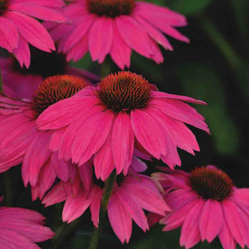 Echinacea Purple Coneflower Pow Wow Wild Berry