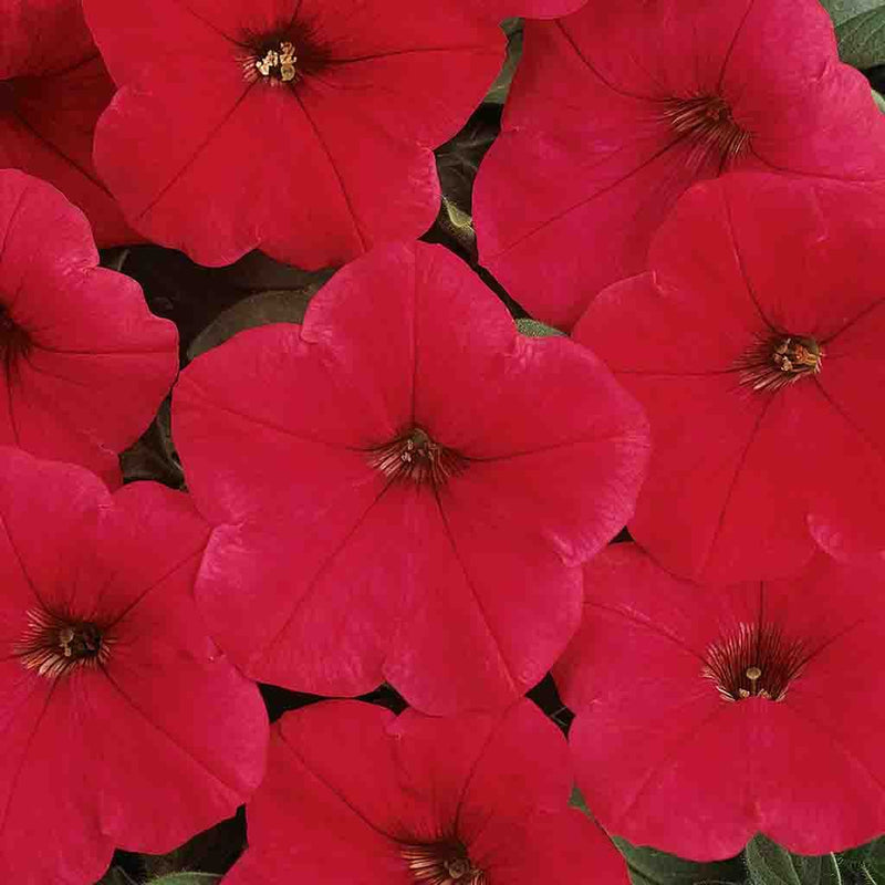 Petunia Easy Wave Red